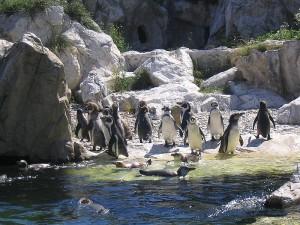 Вена. Зоопарк. Пингвины.
