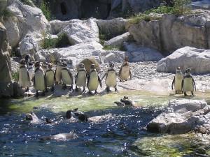 Пингвины. Венский зоопарк.