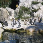 Венский зоопарк. Пингвины Гумбольдта.