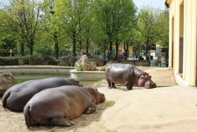 Зоопарк. Бегемоты. Спящее трио.